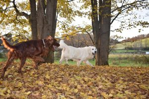 English Cream Golden Retriever & Irish Setter Breeder in