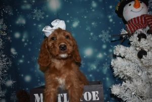 Irish Doodle Puppies For Sale In Pittsburgh Pa Plumcreek